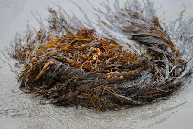 Meeresalgen