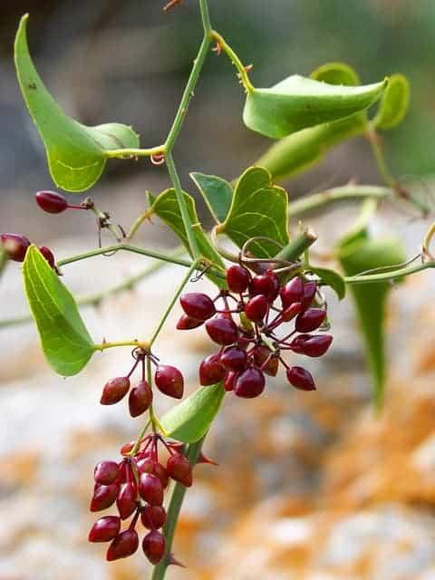 Japanische Teichpflanze  sarsaparilla (umgangssprachliche Pflanze)  weiße Pfingstrose  Hakorose ausgesandt (Teufelskralle, Teufelskralle)  Ashwagandha  Indische Brennnessel