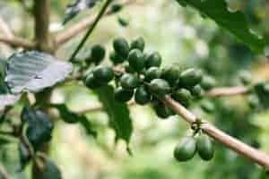 grünen Kaffeebohnen