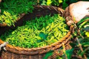 Slimagic Caps Pflanzen