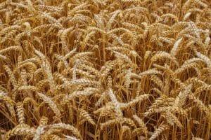 Getreideanbau auf dem Feld