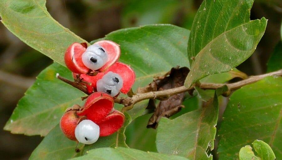 Guarana, Paullinia cupana