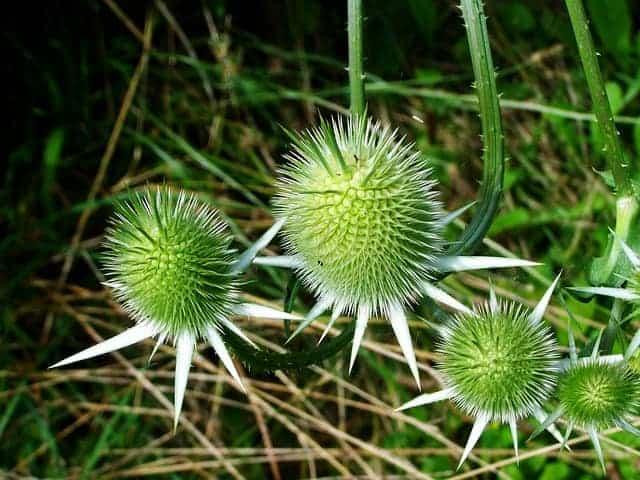 Fleckendistel, Pflanze